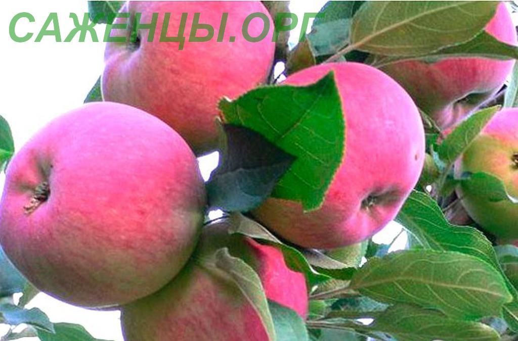 бесят яблоня конфетное описание фото отзывы посадка поланчеца заявил